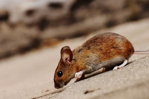 Mice Exterminator, Pest Control in Pinner, Eastcote, Hatch End, HA5. Call Now 020 8166 9746