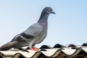 Pigeon Control, Pest Control in Pinner, Eastcote, Hatch End, HA5. Call Now 020 8166 9746